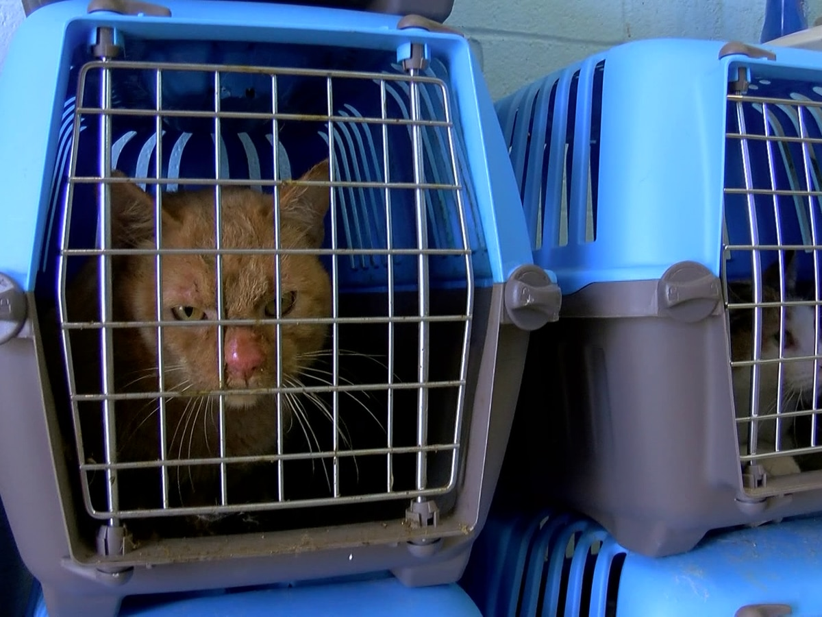 Cats rescued from poor conditions receive check-ups, vaccinations at West Memphis Animal Shelter