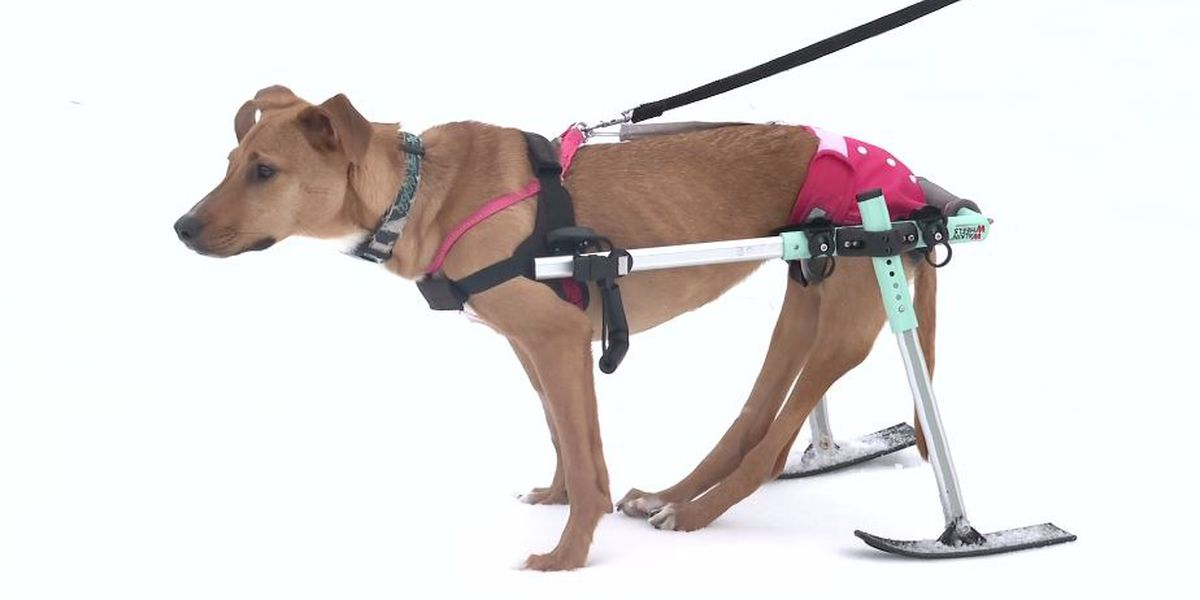 Partially paralyzed dog who loves to ski looking for forever home