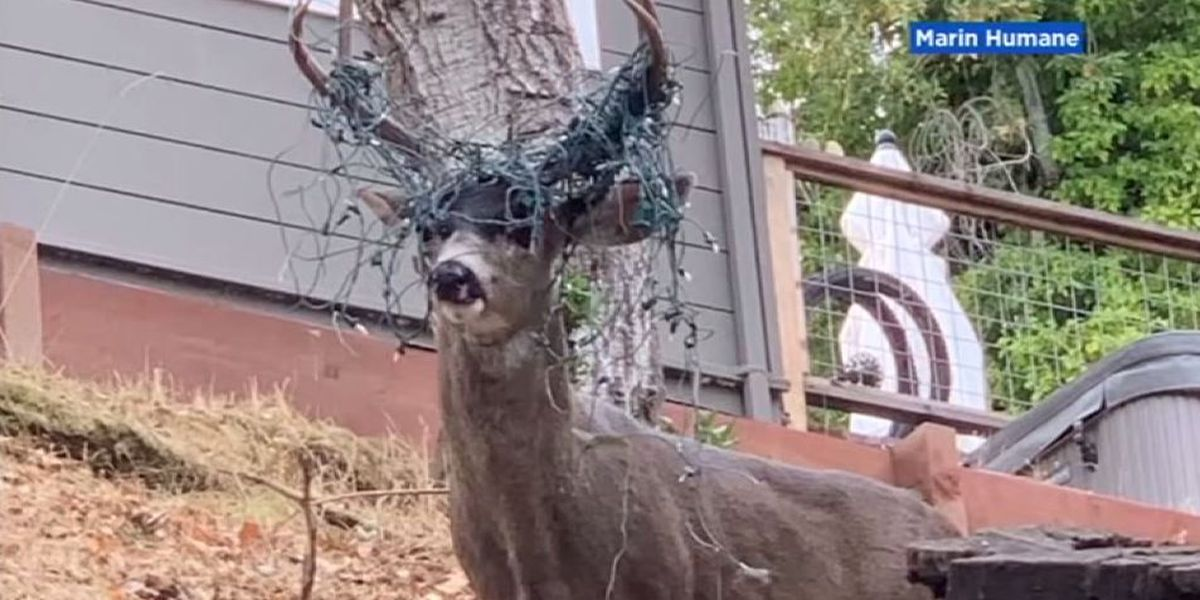 Deer could lead Santa's sleigh after antlers tangle with Christmas lights