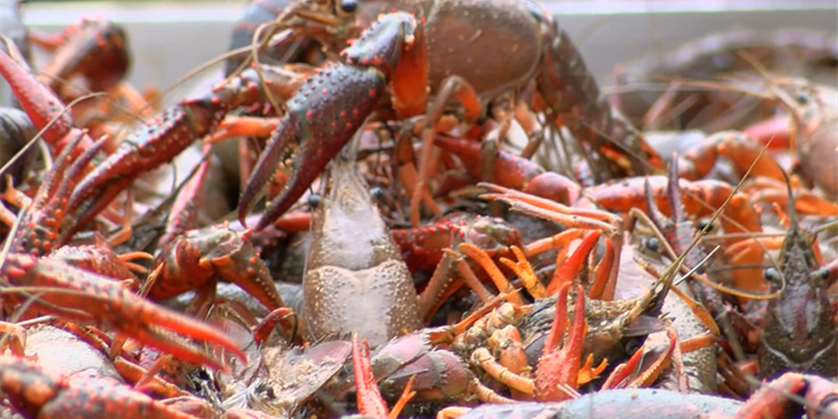 Mid-South's largest crawfish festival held in Downtown Memphis
