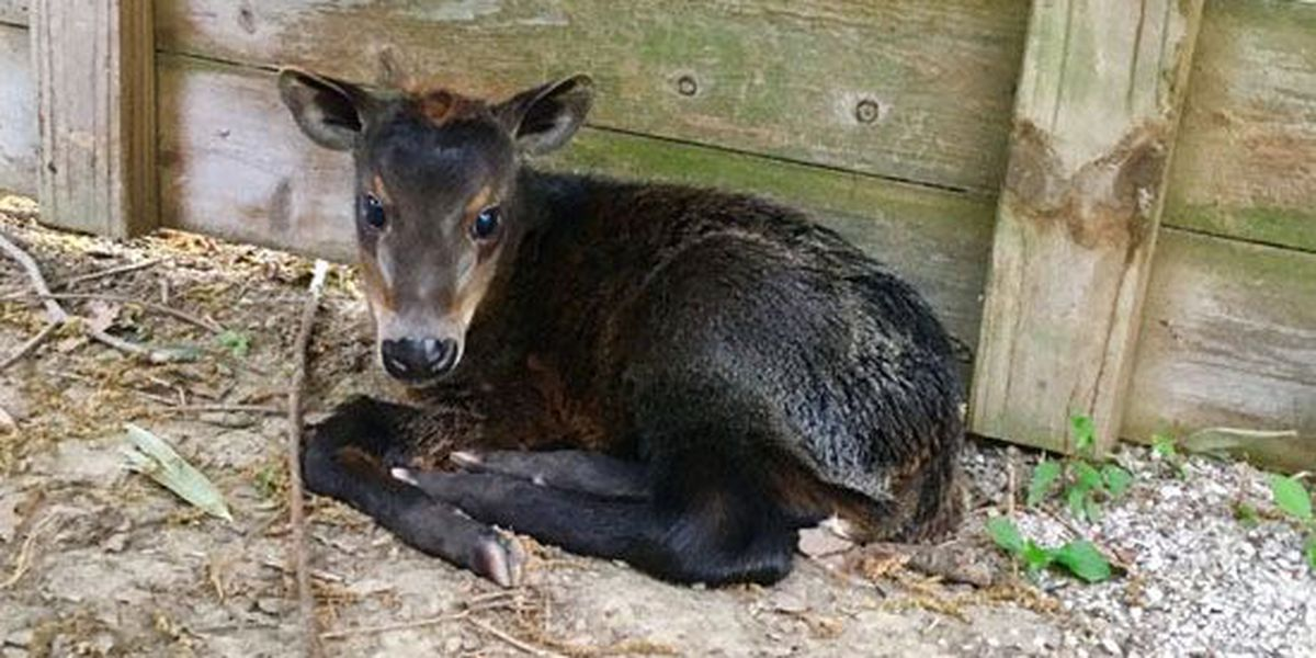 Yellow-backed duiker born at Memphis Zoo