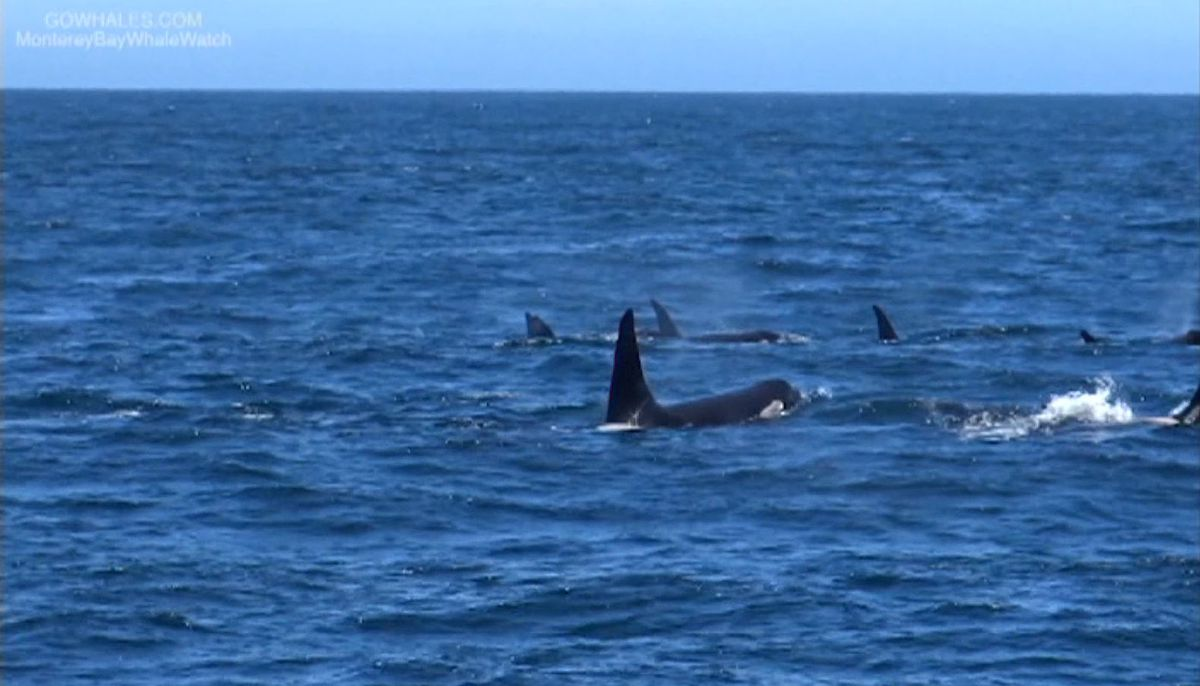 Endangered orcas dying off along West Coast over lack of food
