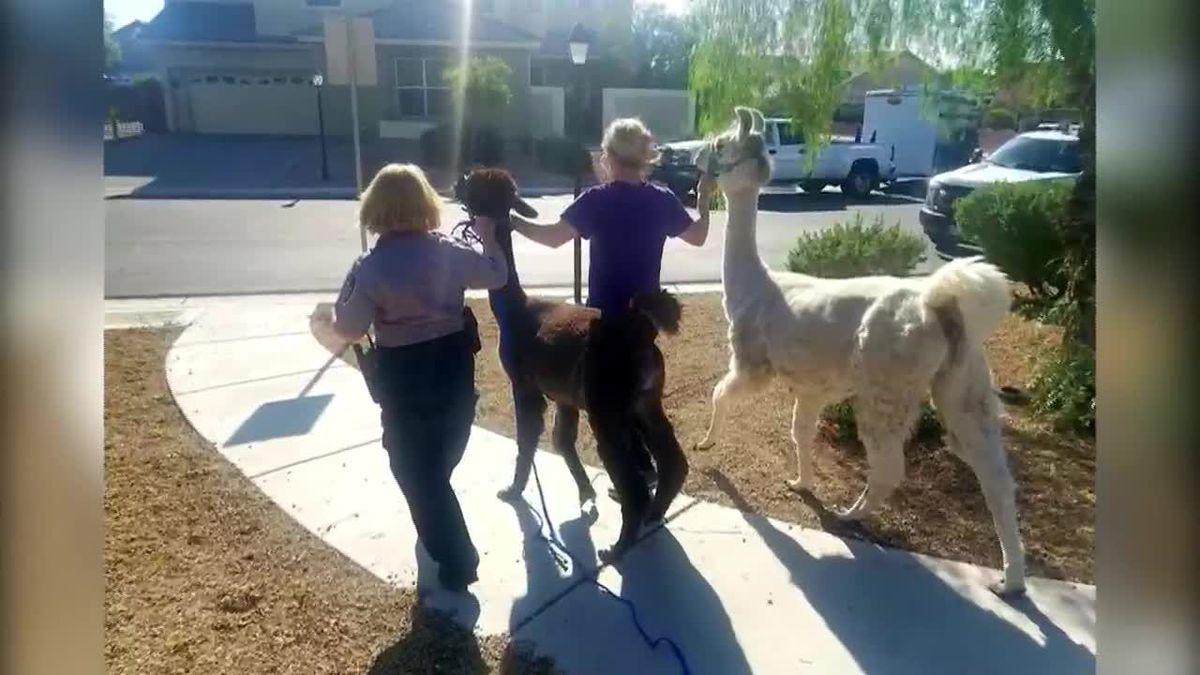 Escaped llamas run amok in Las Vegas neighborhood