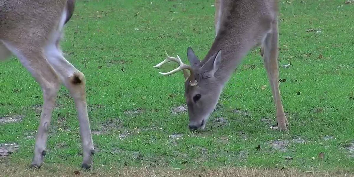 3 more Mississippi deer found with chronic wasting disease