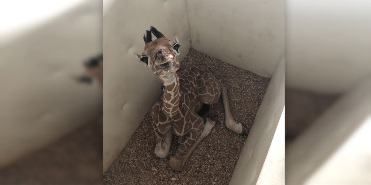 Behind-the-scenes at the Memphis Zoo with Ali the baby giraffe