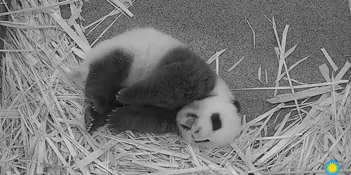 Baby panda at National Zoo stretches and yawns