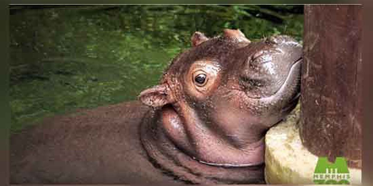Memphis Zoo's baby hippo now five times her birth weight