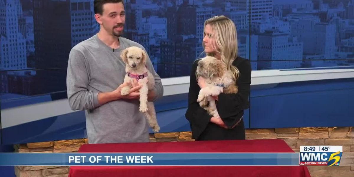 Sunny Meadows brings Jake the Poodle and Amos the Shih Tzu