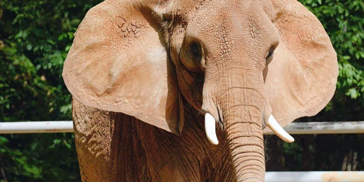 Memphis Zoo elephant, Tyranza, dies after health decline