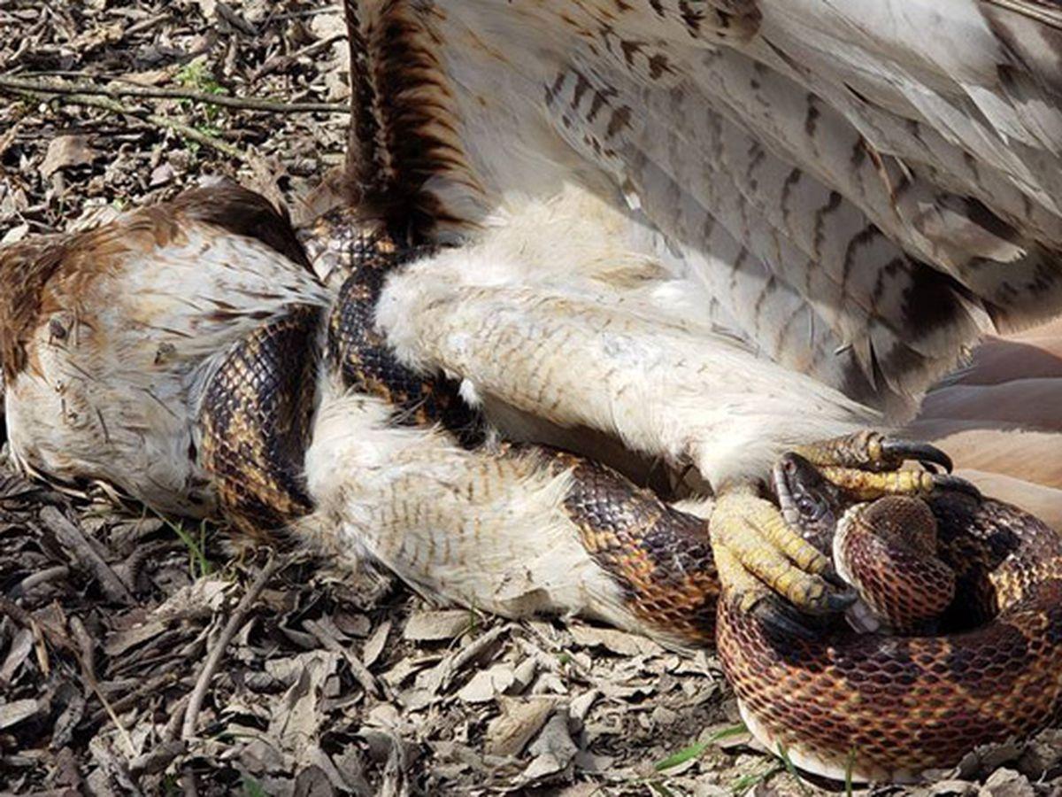 Hawk vs. snake: A life-or-death struggle