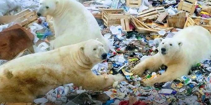 Polar bears invade Russian town